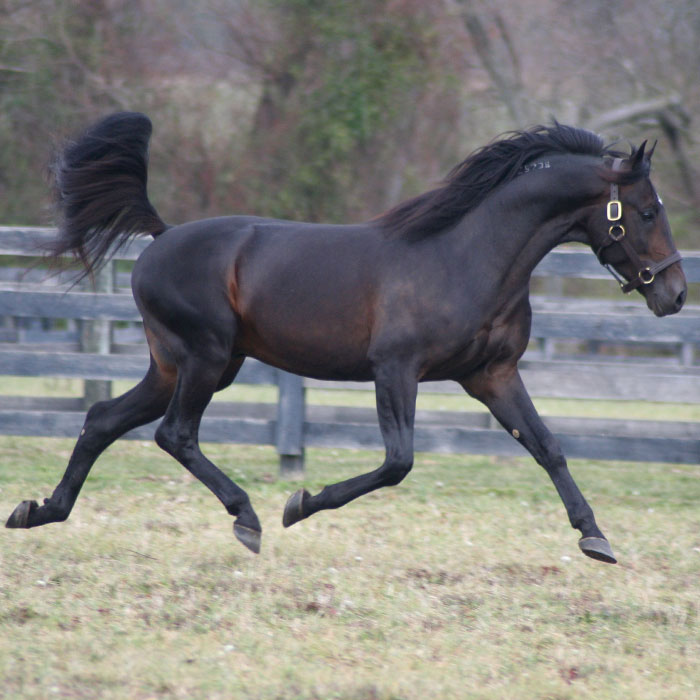 Winbak Stallion